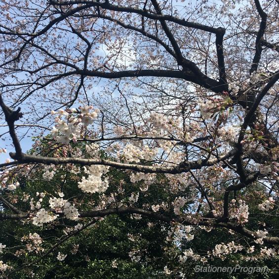 シルクラブ敷地内の桜の木